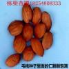 大红桃桃树小苗种植技术大棚专用香椿苗价格参考
