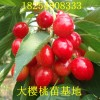 李子树苗管理李子树苗新品种
