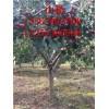 4公分山楂树价格 5公分山楂树价格 6公分山楂树价格