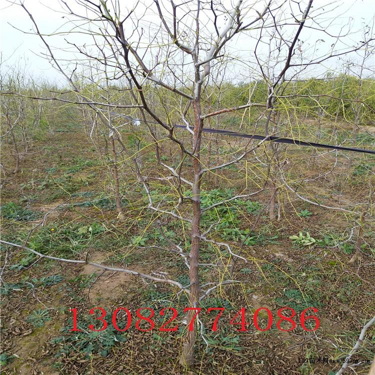 枣树苗种植成活率高低要看你种植的时机对不对,一般农户都习惯春季