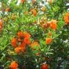 软籽石榴石榴苗管理 三年石榴苗挂果时间