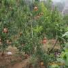 软籽石榴石榴苗多少钱 软籽石榴石榴苗市场价格