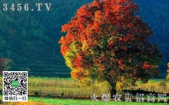 乌桕树的功效和作用 乌桕树的重要价值