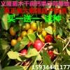 钙果苗图片++农大钙果苗图片++中华钙果苗图片