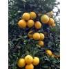 供应30-70cm高大果椭圆形脐橙 纽荷尔脐橙苗