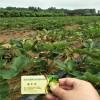 法兰地草莓苗 法兰地草莓苗洗根