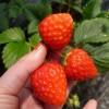 微信草莓苗利博娱乐 草莓苗种植管理