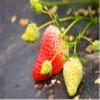 基地批发出售 红颜草莓 苗 价格低 品种齐全 支持到场考察