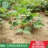 草莓苗价格 山东草莓苗批发基地 九香草莓苗市场报价