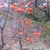 次郎柿子苗种植 合柿柿子苗种植前景