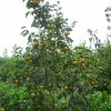 3公分柿子苗基地 黑柿柿子苗多少钱一棵