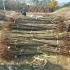 3公分板栗树苗种植技术