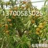 最新枣树苗价格+++冬枣苗价格13700585025