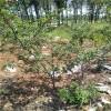 3公分花椒树多少钱一株