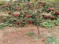 甜红籽山楂苗规格