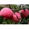 河北寒富苹果苗 辽宁寒富苹果苗基地 免费提供栽培技术