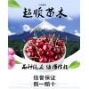 优质高产樱桃树苗批发成活率高