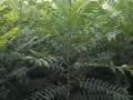 3公分香椿树苗品种