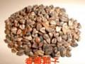 云南香椿树苗