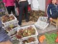 云南红油香椿树苗