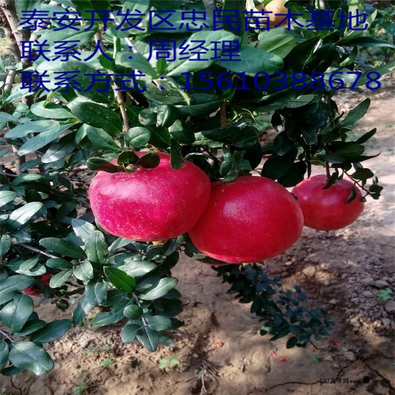 突尼斯软籽石榴苗 突尼斯软籽石榴苗批发|果树小苗