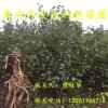出售凯特杏树苗、凯特杏树苗基地、凯特杏树苗价格多少