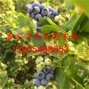 现在蓝莓苗多少钱一棵|最新蓝莓苗价格