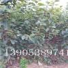 次郎甜柿苗出售、次郎甜柿树苗、哪里有3公分柿子树