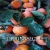 次郎甜柿树苗栽培、次郎甜柿苗出售、3公分甜柿树苗哪里有