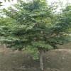 五角枫树苗价格