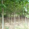 法桐树多少钱一棵 高杆法桐树