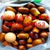 枣树苗批发价格 枣树苗多少钱一棵