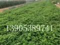 供应全明星草莓苗