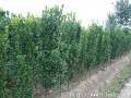 北海道黄杨树苗