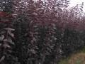 山东紫叶李树苗价格多少