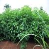 供應香樟小苗、香樟小苗價格、香樟小苗行情、香樟小苗多少錢