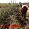 八棱海棠树苗价格 京红海棠树价格低