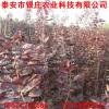 苗圃直销红栌树苗价格 哪里有卖红栌树苗多少钱一棵