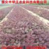 批发供应绿化红栌树苗价格 哪里有卖红栌树苗价格