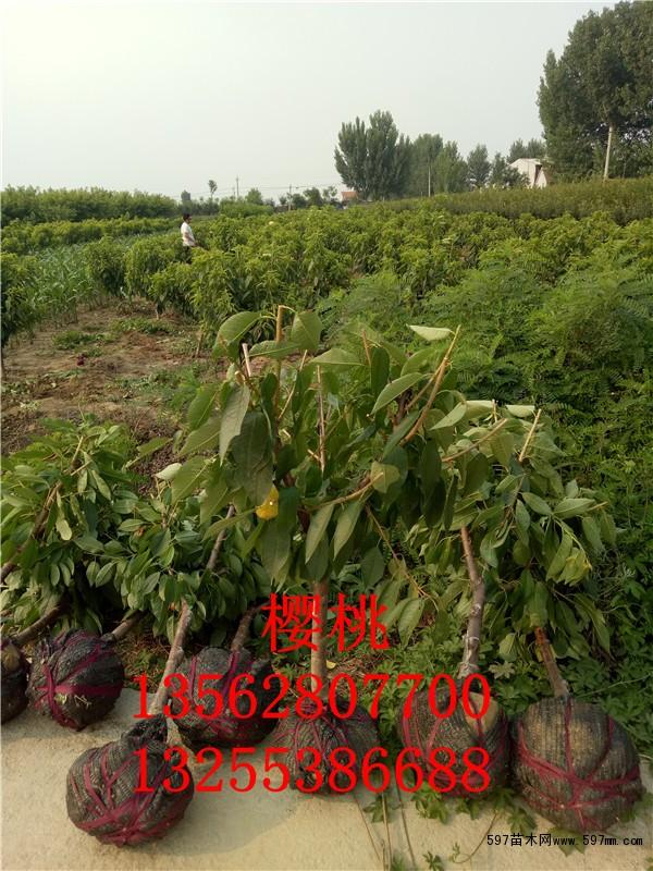 3公分大樱桃树价格 苗木 苗木报价图片