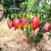 软籽石榴树苗|软籽石榴树苗价格多少