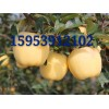 维纳斯黄金苹果苗,维纳斯黄金苹果苗价格,维纳斯黄金苹果苗基地