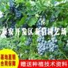 蓝莓苗价格_奥尼尔蓝莓苗基地
