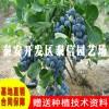 蓝莓苗批发 蓝莓苗价格
