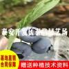 北高丛蓝莓苗基地 蓝莓小苗