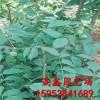 核桃树苗哪里有卖的 哪里卖3公分核桃树苗 核桃树批发价格