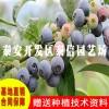 艾克他蓝莓苗_艾克他蓝莓苗一亩栽多少棵