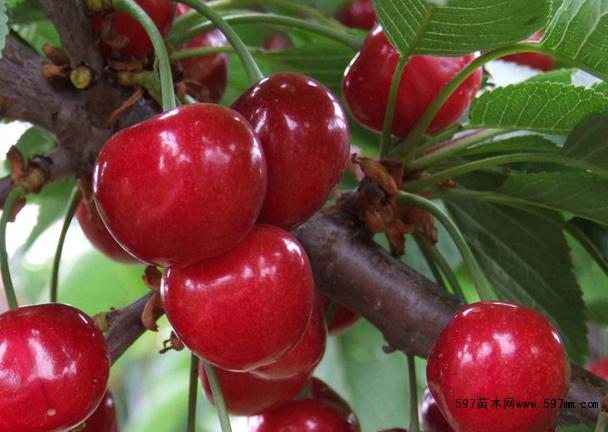 红灯樱桃苗哪里有 红灯樱桃树苗价格 红灯樱桃苗管理技术图片