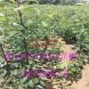 山东红梨树苗品种报价