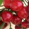 2公分樱桃苗品种 2公分樱桃苗